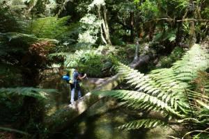 Pirongia Forest, Te Araroa Trail, North Island NZ
