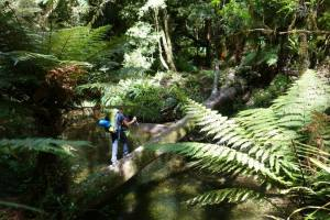 Pirongia Forest, Te Araroa Trail, North Island NZ